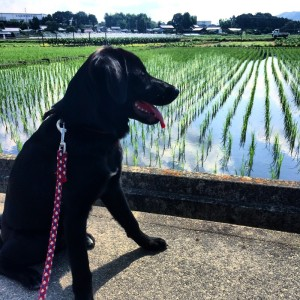 田んぼと稲