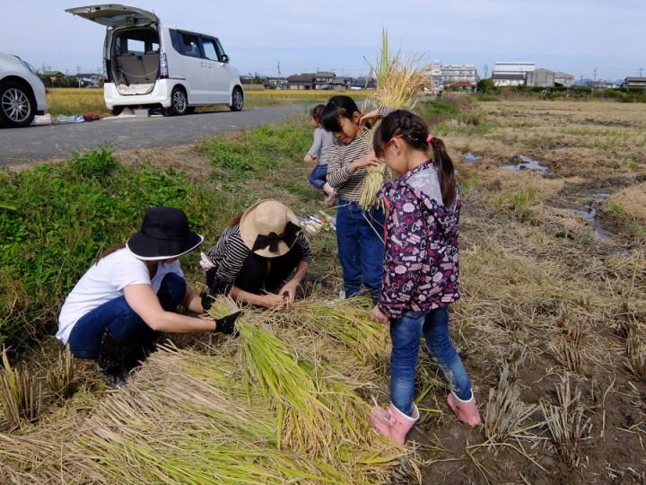 稲刈り束1